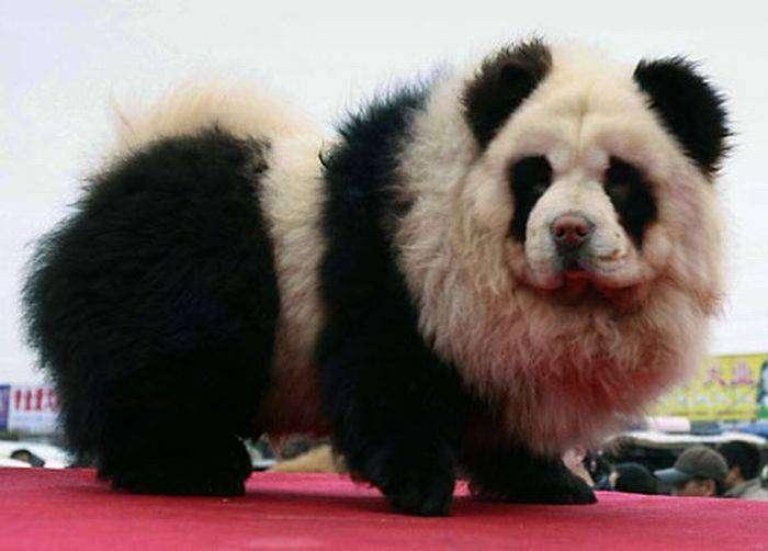Perros Panda en China